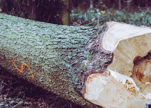 Chopped down tree
