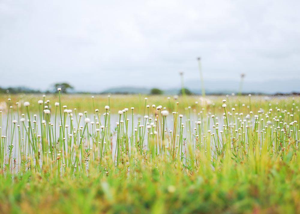 Field of baby breath flowers