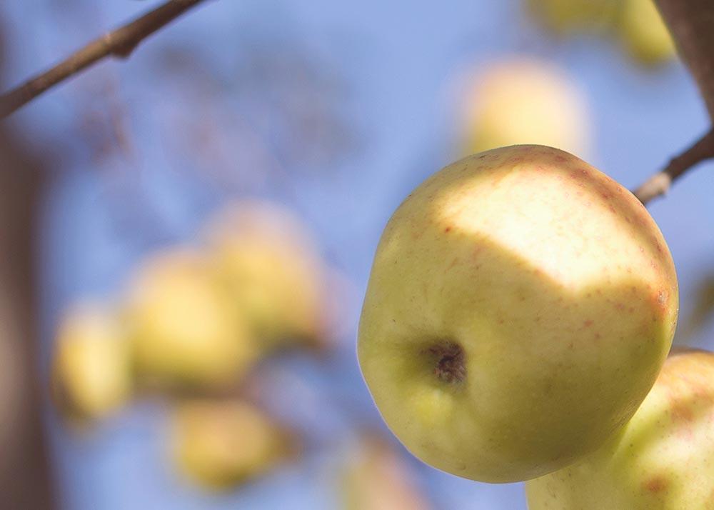 Yellow apples on tree